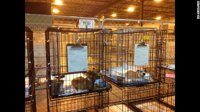Two dogs seized in a multi-state dogfighting bust await the end of their medical quarantine period in an undisclosed location.