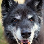 "Akila, a once-feral dog, benefited greatly from positive training. (Photo copyright Lori Fusaro / ""My Old Dog"")"