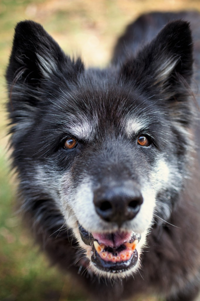 "As a feral dog, Akila feared human contact. (Photo copyright Lori Fusaro / ""My Old Dog"")"