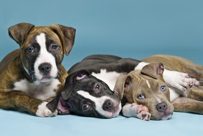 BREED_SPECIFIC_LEGISLATION_Featured