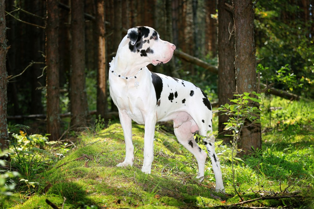Are you living in an apartment and considering a giant breed dog? Read this to learn some tips for a successful living arrangement.