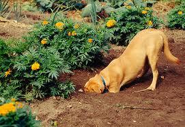 Dog Digging in Garden