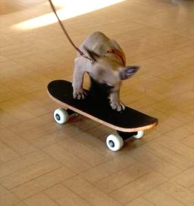 French Bulldog pup on skateboard