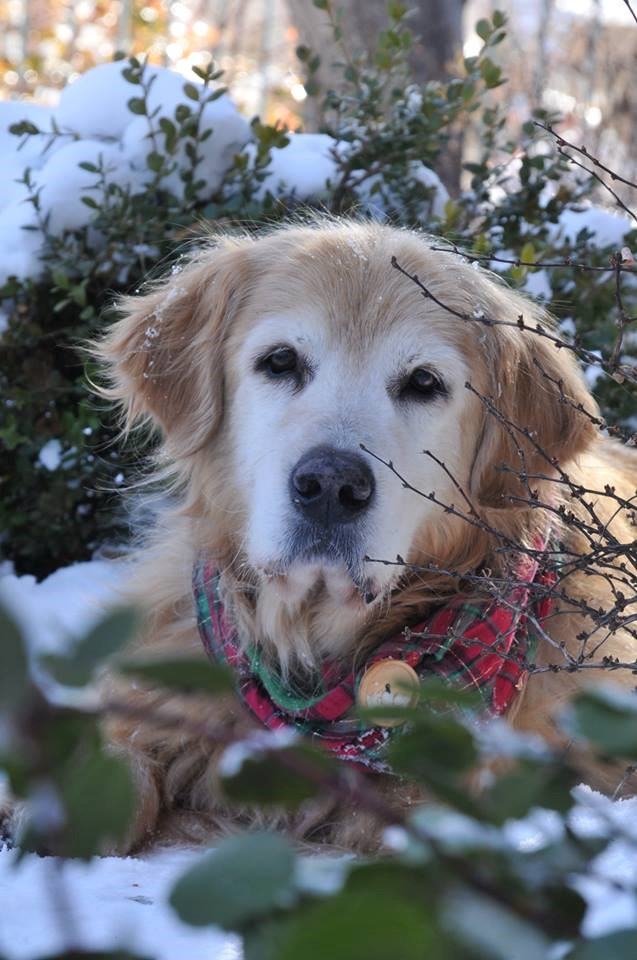Bailey, 15 years old and recently adopted. Photo Courtesy Golden Retriever Rescue of the Rockies | www.goldenrescue.com