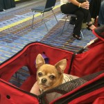 Mr. J   pooped while running behind me down the hall at the HSUS conference!