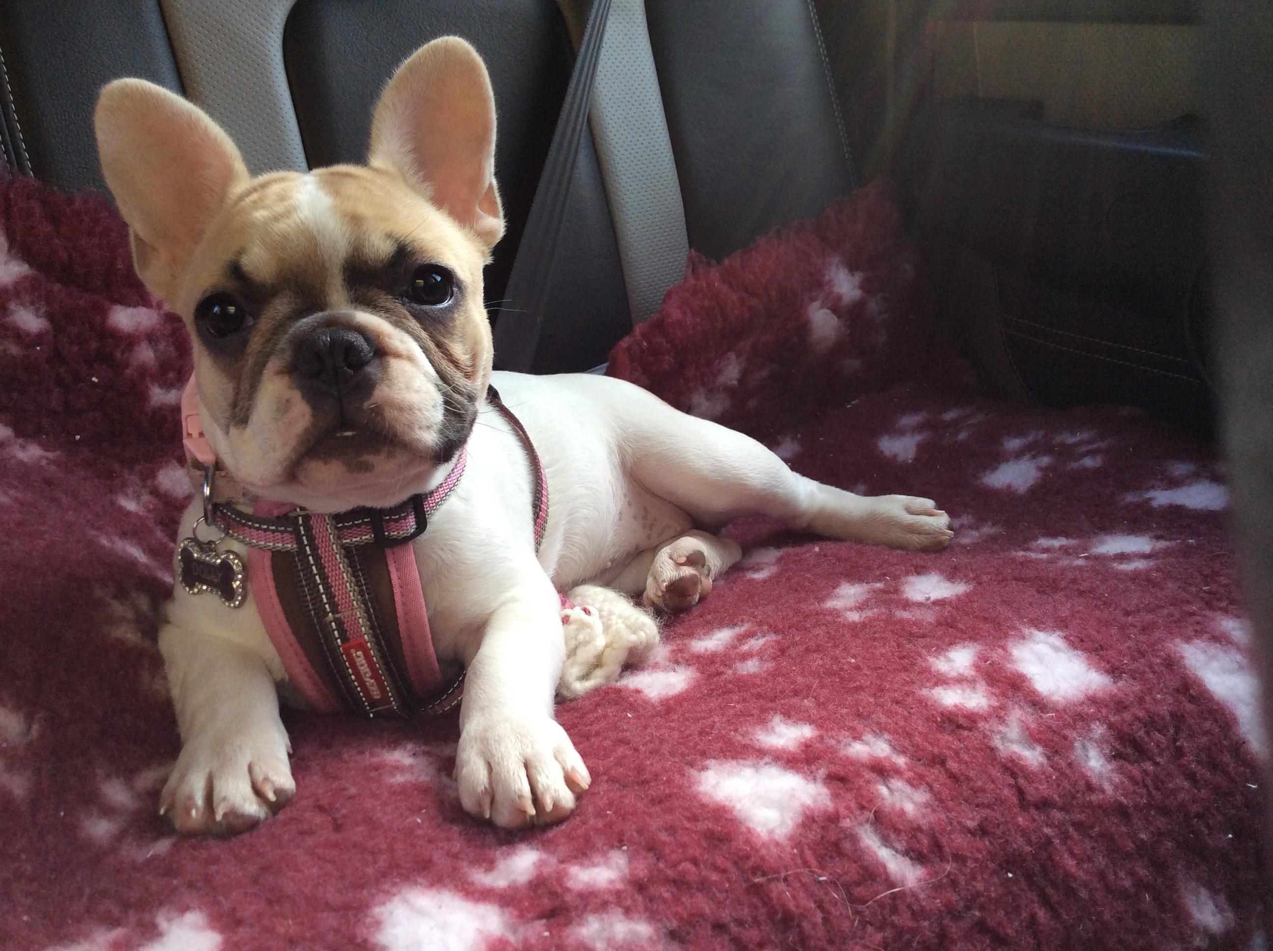 The Po - French Bulldog Puppy