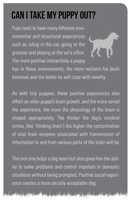 Pups need to have many different environmental and situational experiences such as riding in the car, going to the groomer and playing at the vet's office. The more positive interactions a puppy has in these environments, the more resilient his brain becomes and the better he will cope with novelty.  As with tiny puppies, these positive experiences also affect an older puppy's brain growth, and the more varied the experience, the more the physiology of the brain is shaped appropriately. The thicker the dog's cerebral cortex, (the 'thinking brain') the higher the concentration of vital brain enzymes associated with transmission of information to and from various parts of the brain will be.  This not only helps a dog learn but also gives him the ability to solve problems and control impulses in domestic situations without being prompted. Positive social experience creates a more socially acceptable dog.