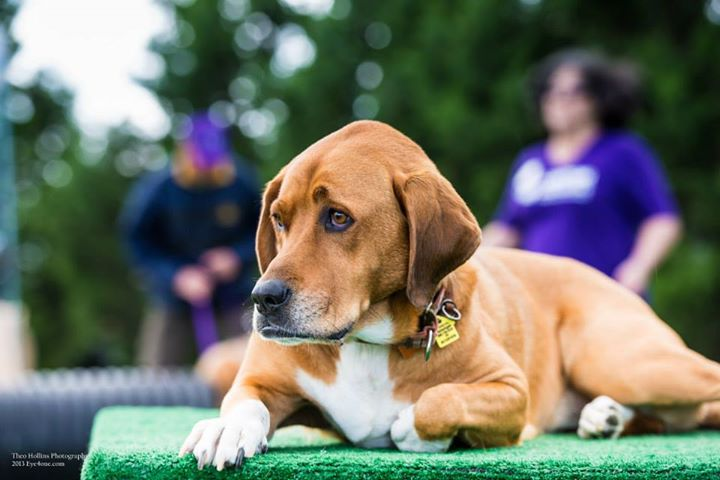 Maggie, at the Bark for Life event in Canton, Michigan
