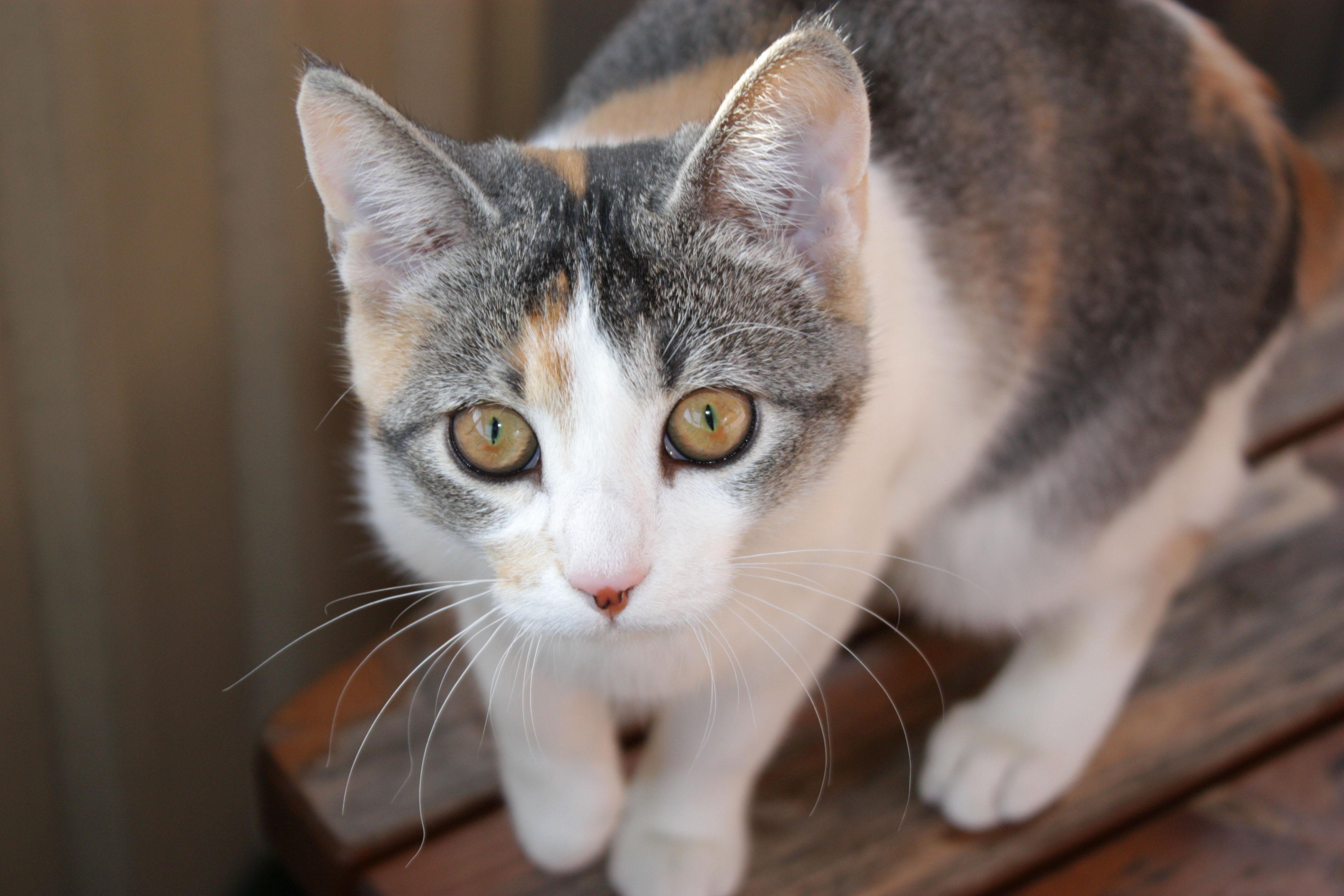 Tortoiseshell_she-cat