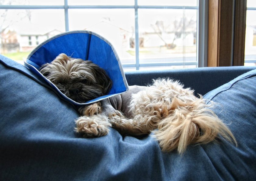 Keep Your Dog Calm After Surgery