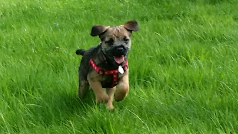 Happy Border Terrier recall