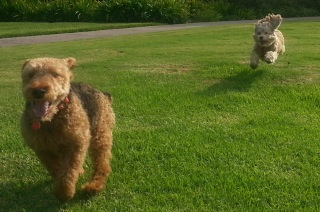 Cardiff (left) dashing on a grassy lawn in Beverly Park with Lucia