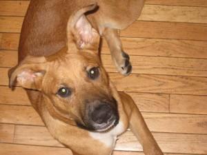dodman-rustydog