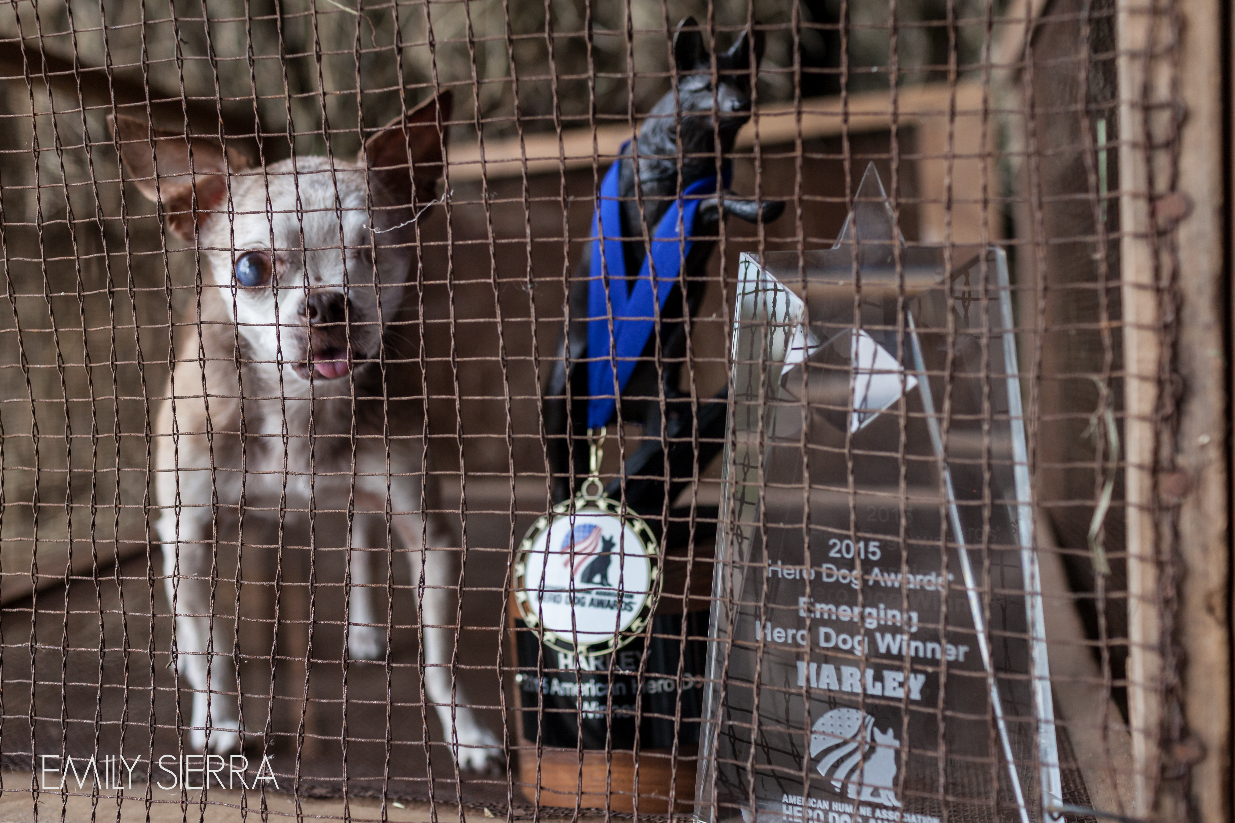 A powerful photo of Harley in a puppy mill cage with his awards.