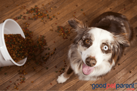 goodpetparent_why-does-my-dog-eat-everything