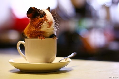 guinea pig and coffee cup