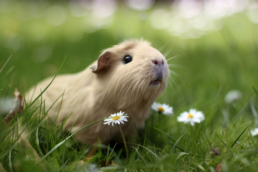 Why you should consider adopting a guinea pig victoria stilwell guineapi when some people hear about guinea pigs publicscrutiny Image collections