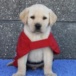 Picture this! Busy shopping mall, school holidays, first time puppy walker for guide dogs, super cut