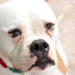 Rehabilitating a reactive dog: Topher's story.